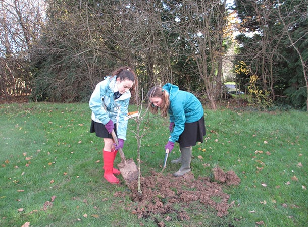 Year 7 Applemore College students digging in an apple tree